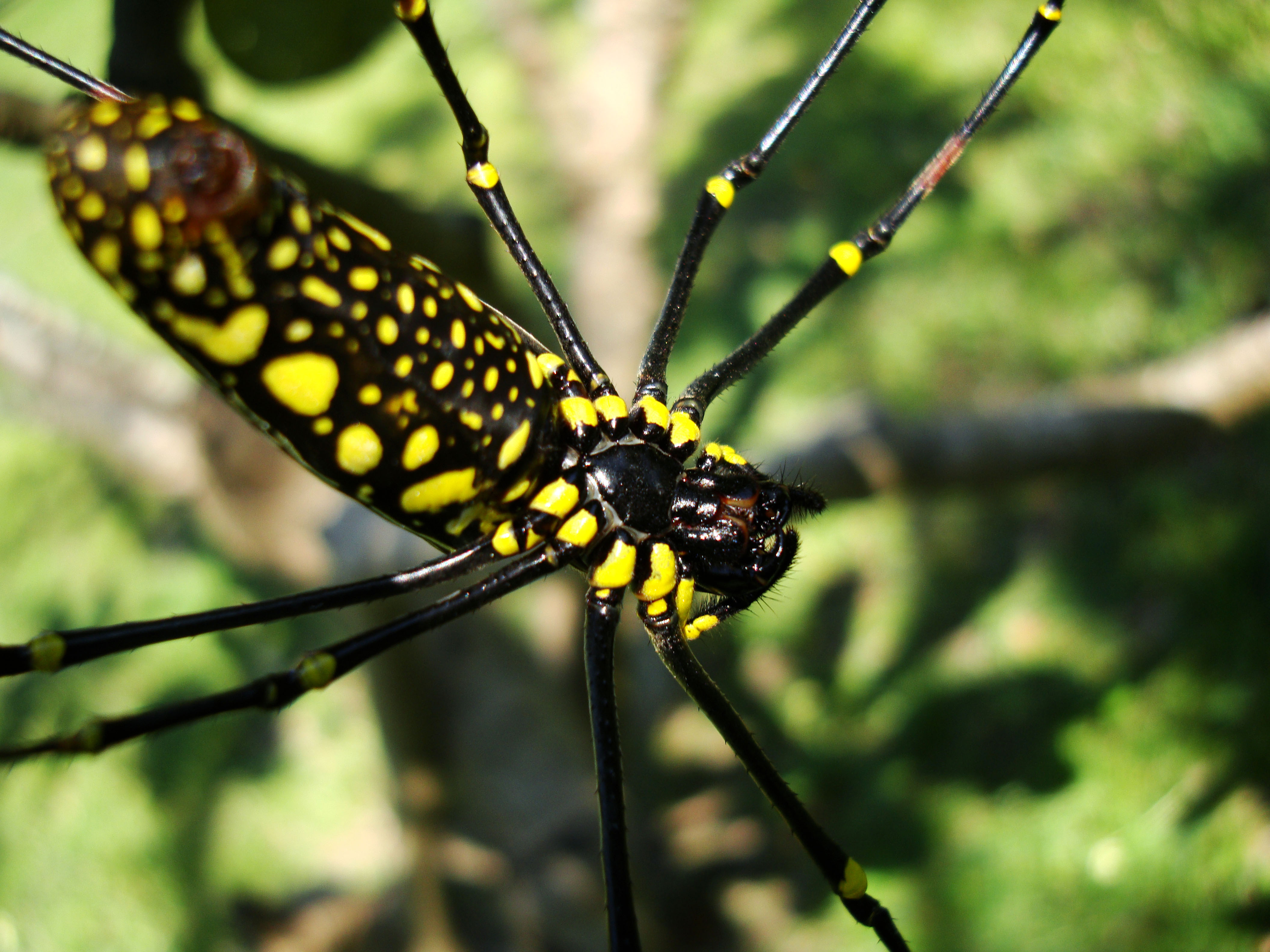 Spider Golden Orb weavers Nephila female Philippines Mar 2009 18