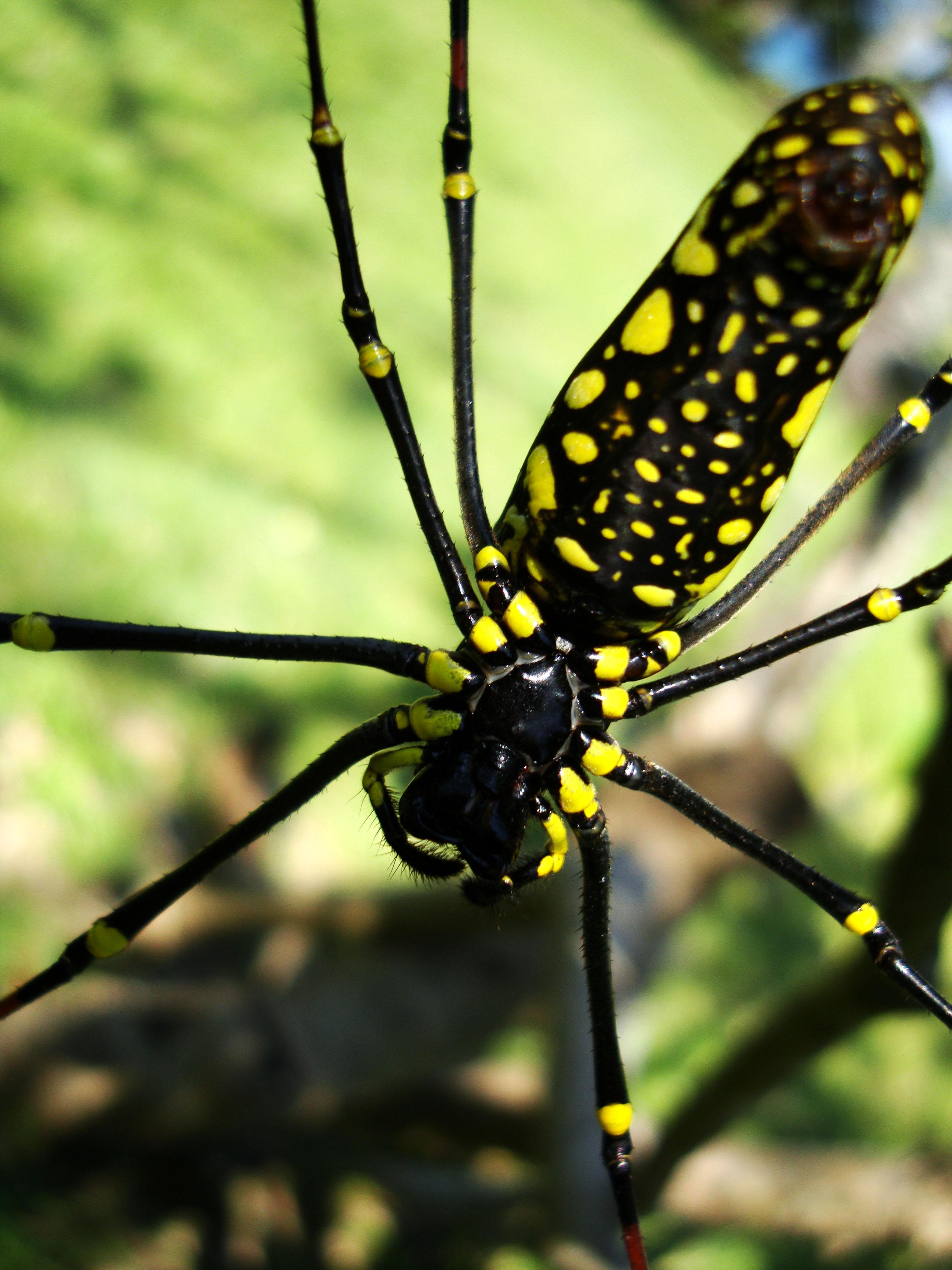 Spider Golden Orb weavers Nephila female Philippines Mar 2009 19