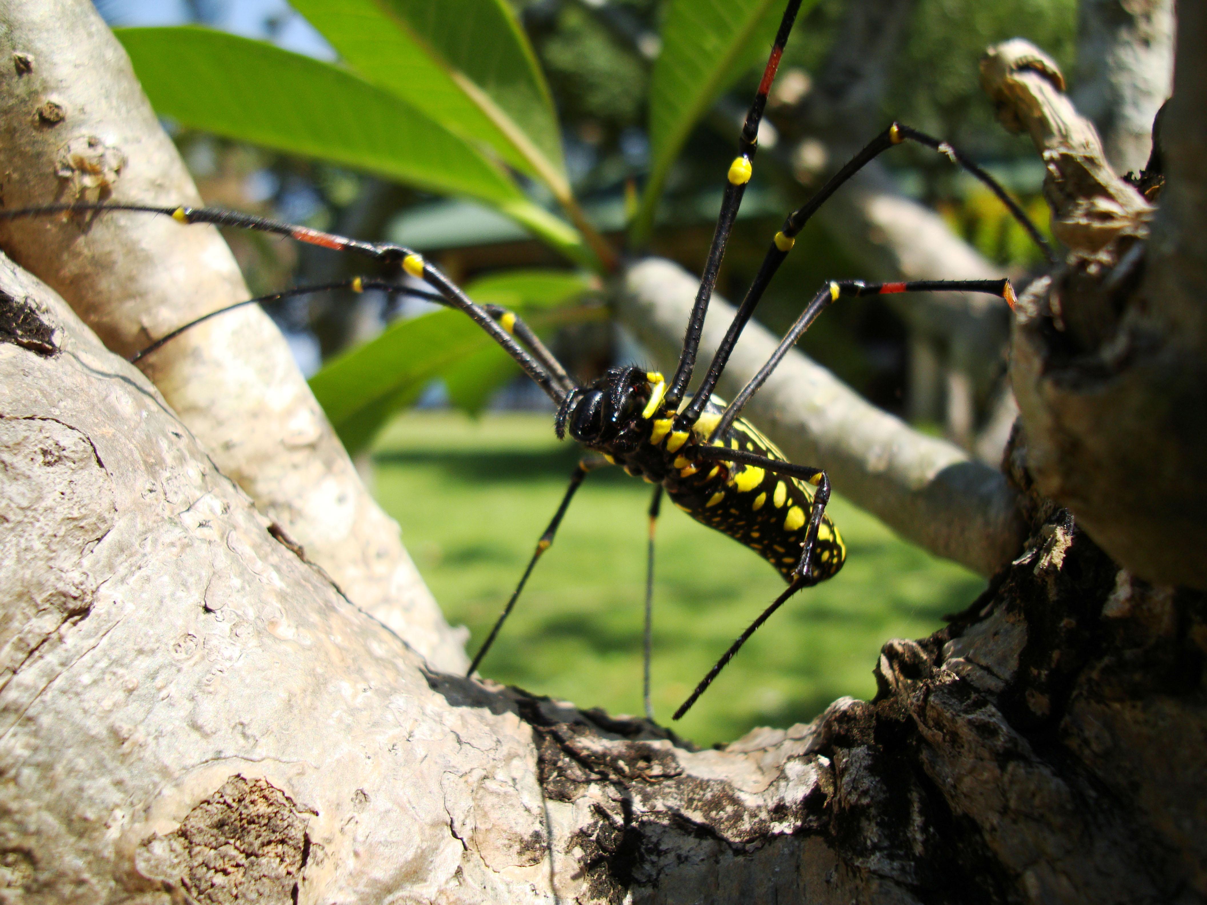 Spider Golden Orb weavers Nephila female Philippines Mar 2009 26