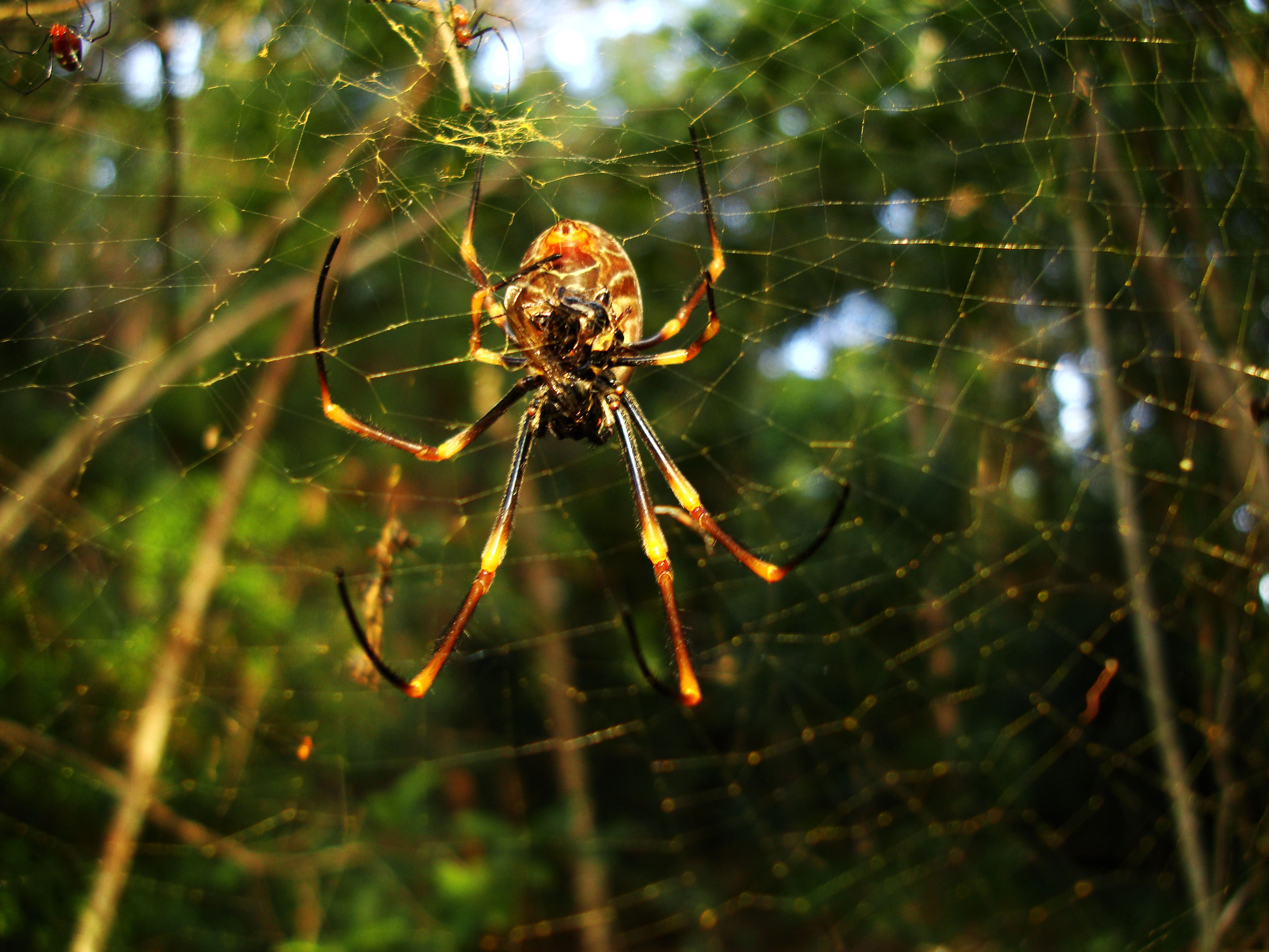 Spider Golden Orb weavers Nephila female Queensland Australia 04