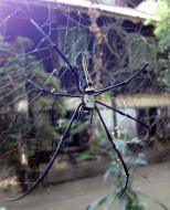 Asisbiz Spider Burmese Golden Orb weavers Nephila Myanmar Jan 2010 02