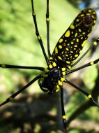 Asisbiz Spider Golden Orb weavers Nephila female Philippines Mar 2009 19
