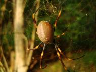 Asisbiz Spider Golden Orb weavers Nephila female Queensland Australia 02