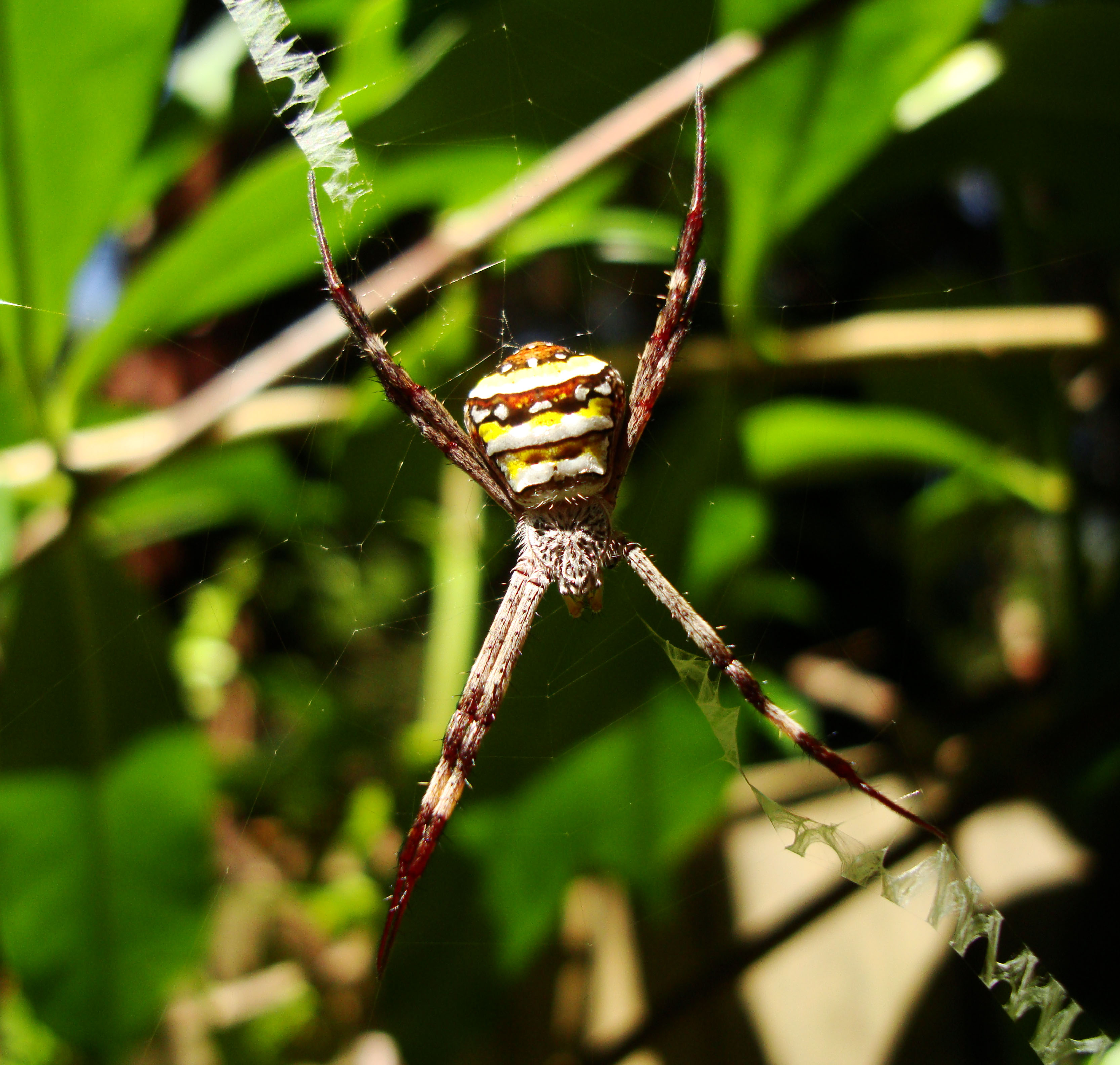 Saint Andrews Cross Spider Marcus Beach Sunshine Coast Qld Australia 06