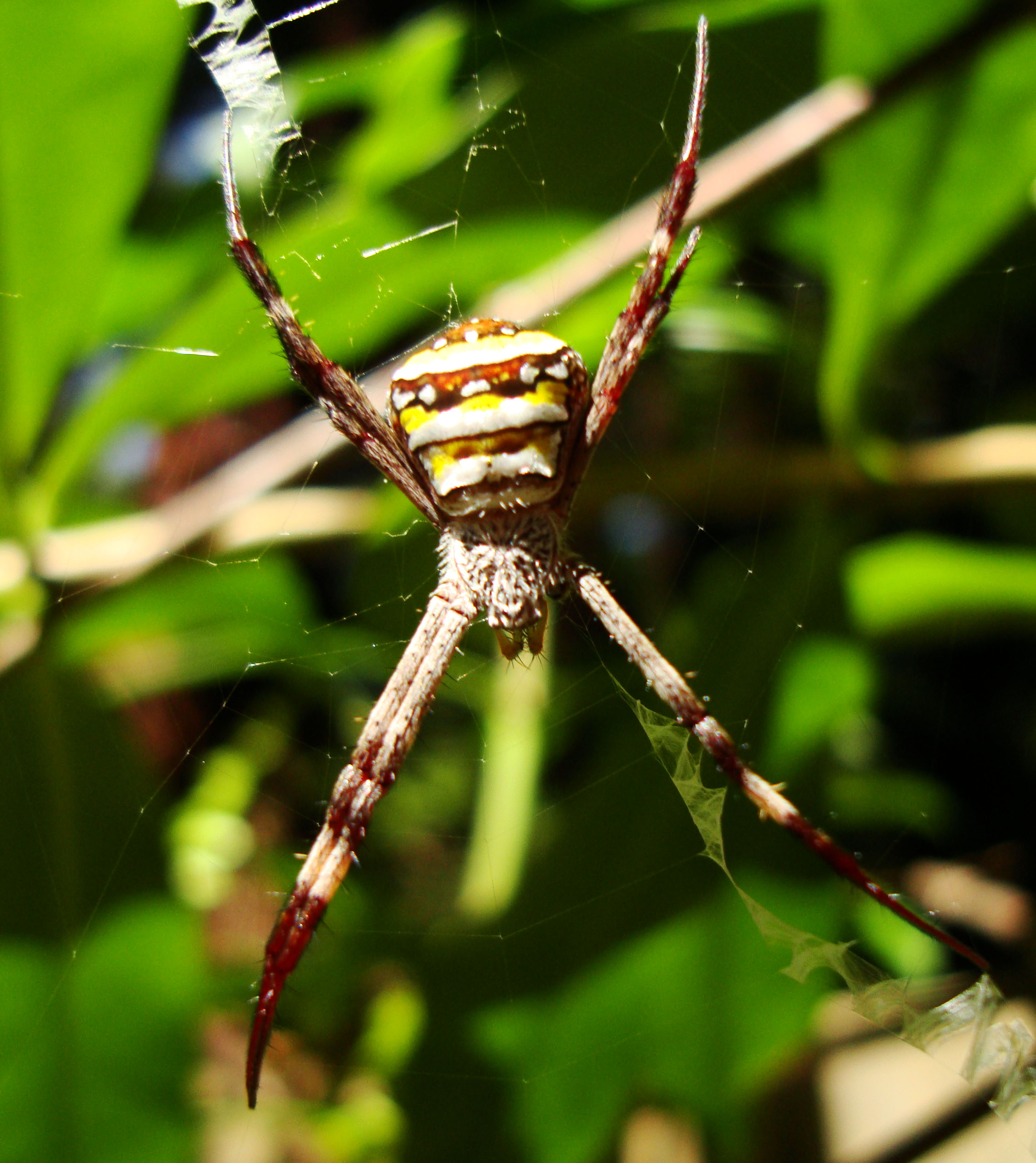 Saint Andrews Cross Spider Marcus Beach Sunshine Coast Qld Australia 08
