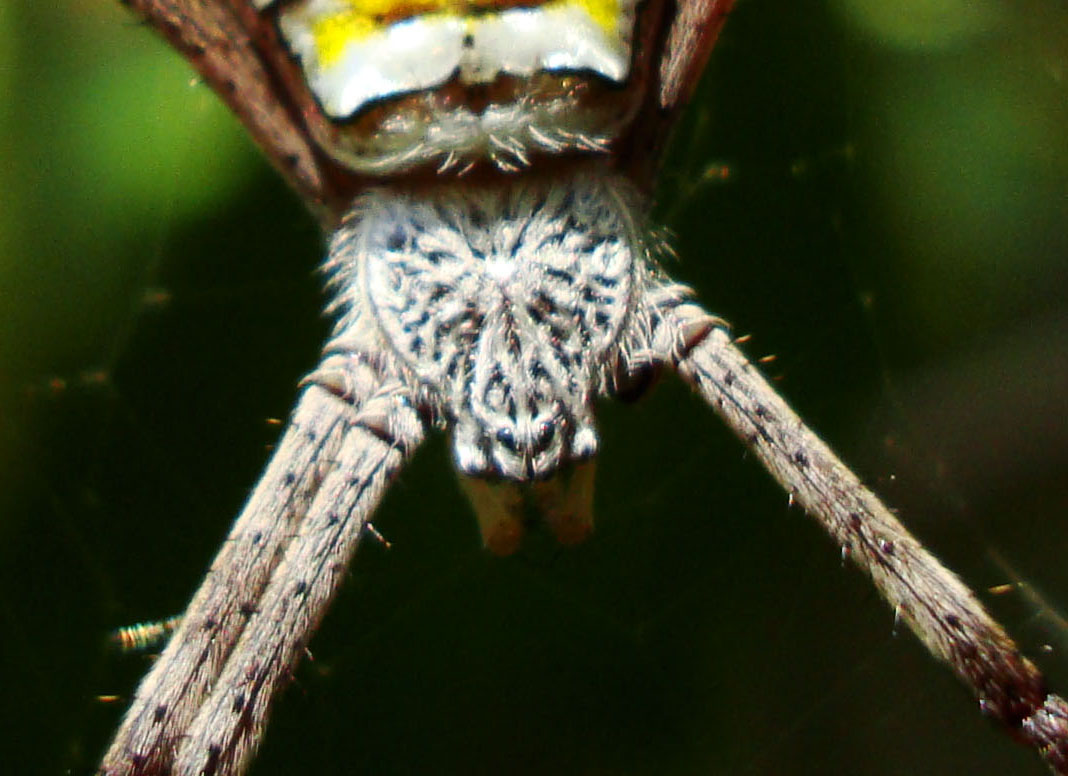 Saint Andrews Cross Spider Marcus Beach Sunshine Coast Qld Australia 11
