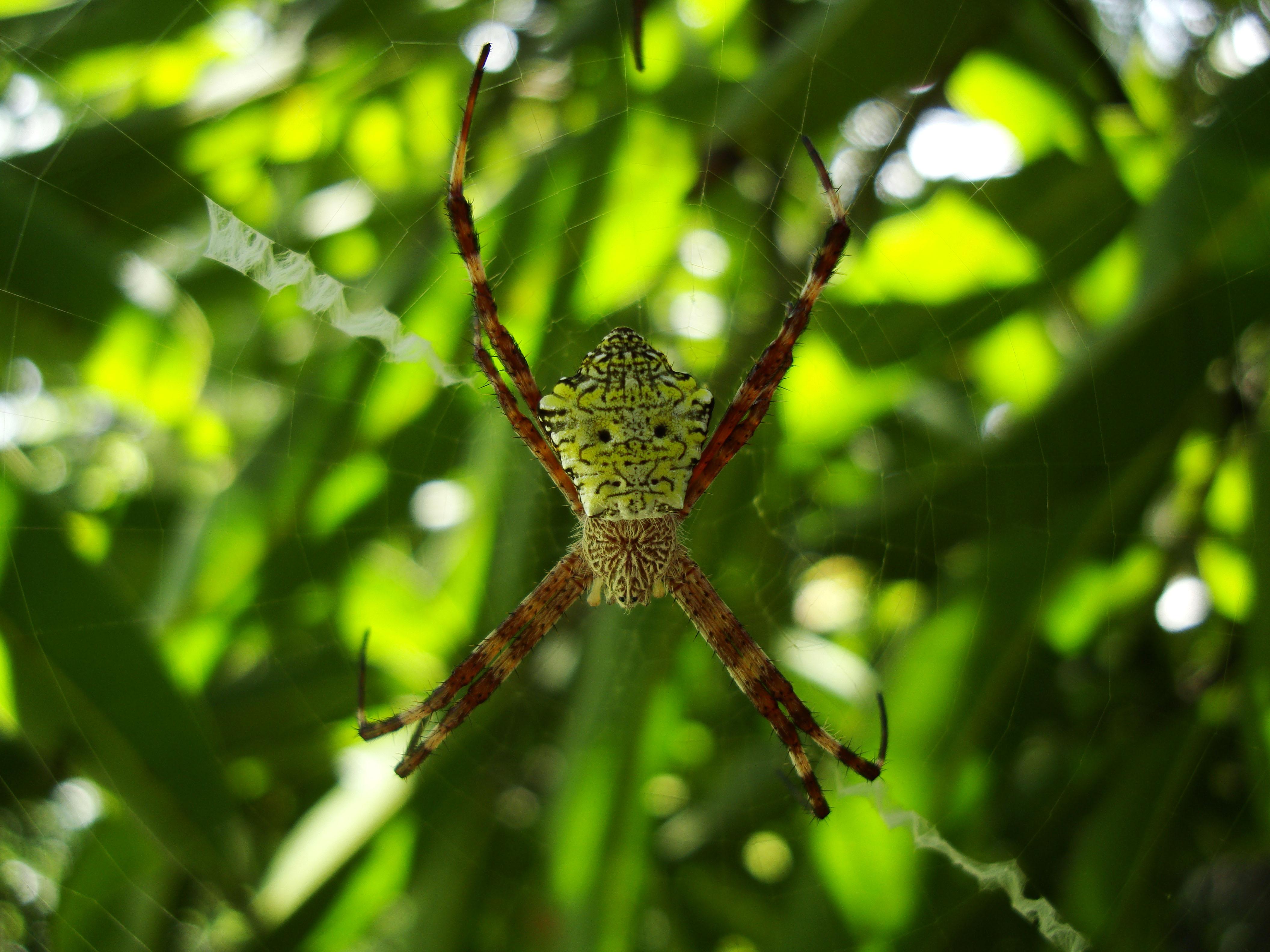 Saint Andrews Cross Spider Mindoro Oriental Philippines Mar 2009 03