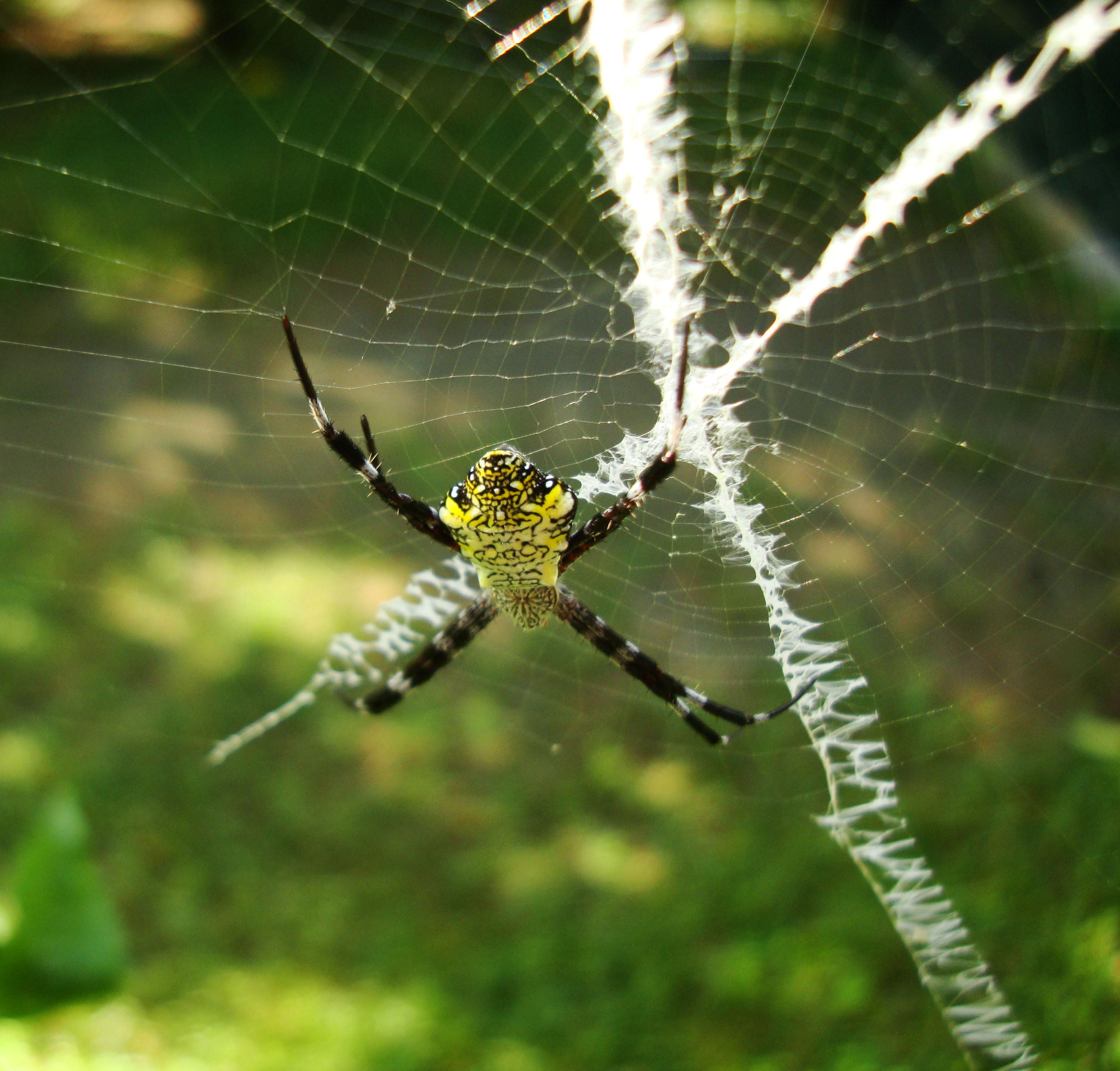 Saint Andrews Cross Spider Mindoro Oriental Philippines Oct 2010 02