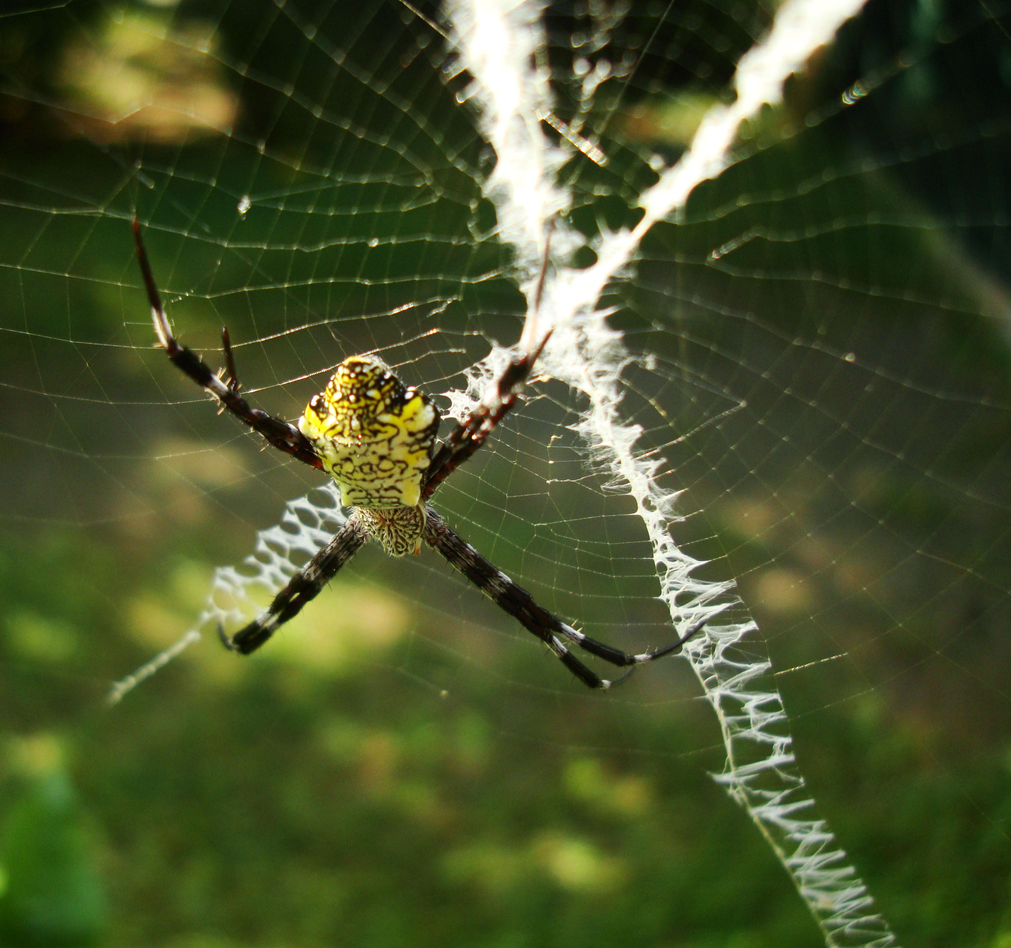 Saint Andrews Cross Spider Mindoro Oriental Philippines Oct 2010 04