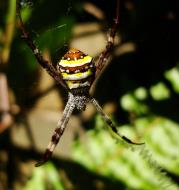 Asisbiz Saint Andrews Cross Spider Marcus Beach Sunshine Coast Qld Australia 01