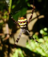 Asisbiz Saint Andrews Cross Spider Marcus Beach Sunshine Coast Qld Australia 03