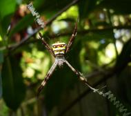 Asisbiz Saint Andrews Cross Spider Marcus Beach Sunshine Coast Qld Australia 13