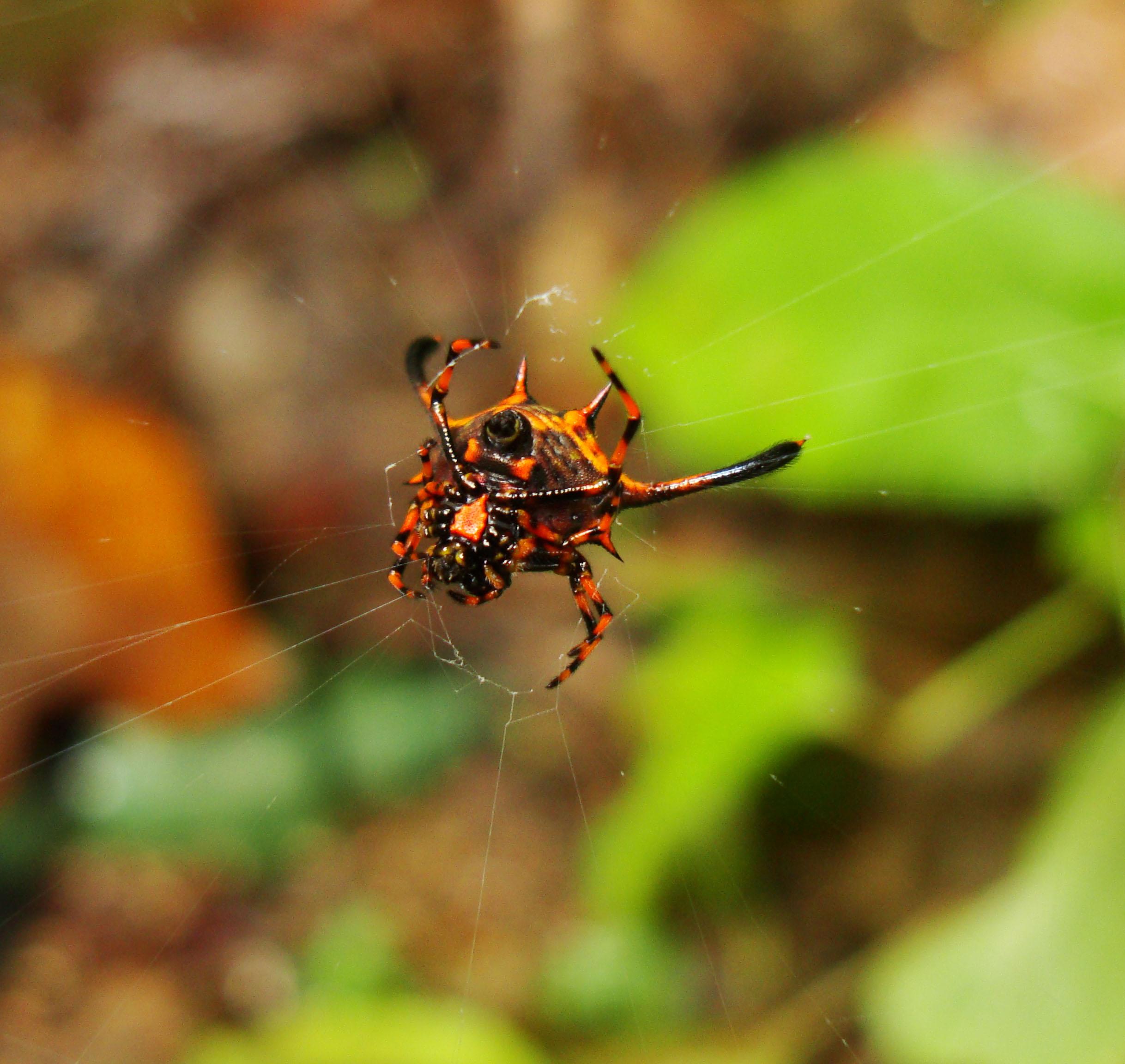 Philippine garden spiders Puerto Gallera Mindoro Oriental 01