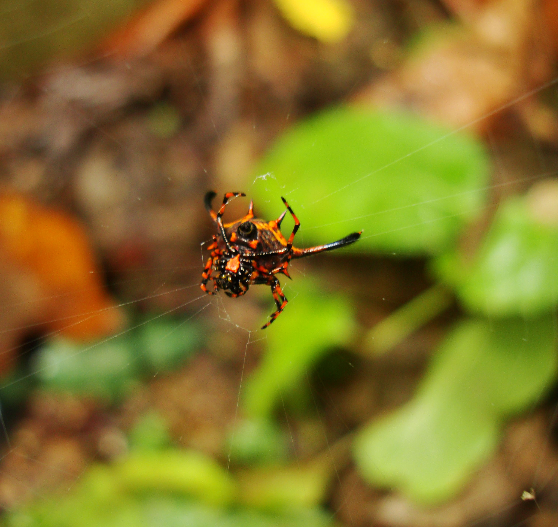Philippine garden spiders Puerto Gallera Mindoro Oriental 02