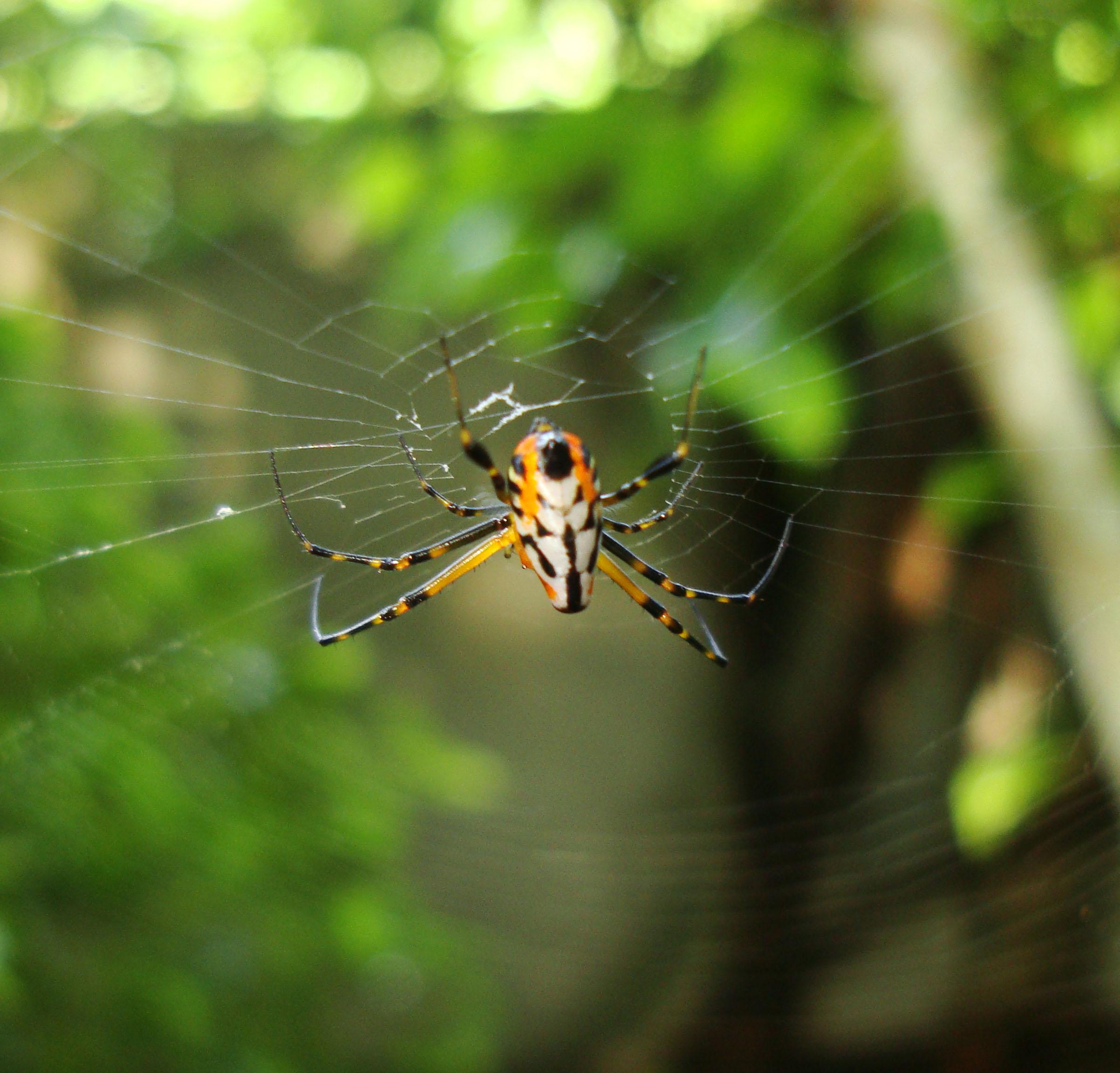 Philippine garden spiders Puerto Gallera Mindoro Oriental 07