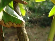 Asisbiz Spiders Web Philippines Puerto Gallera 01