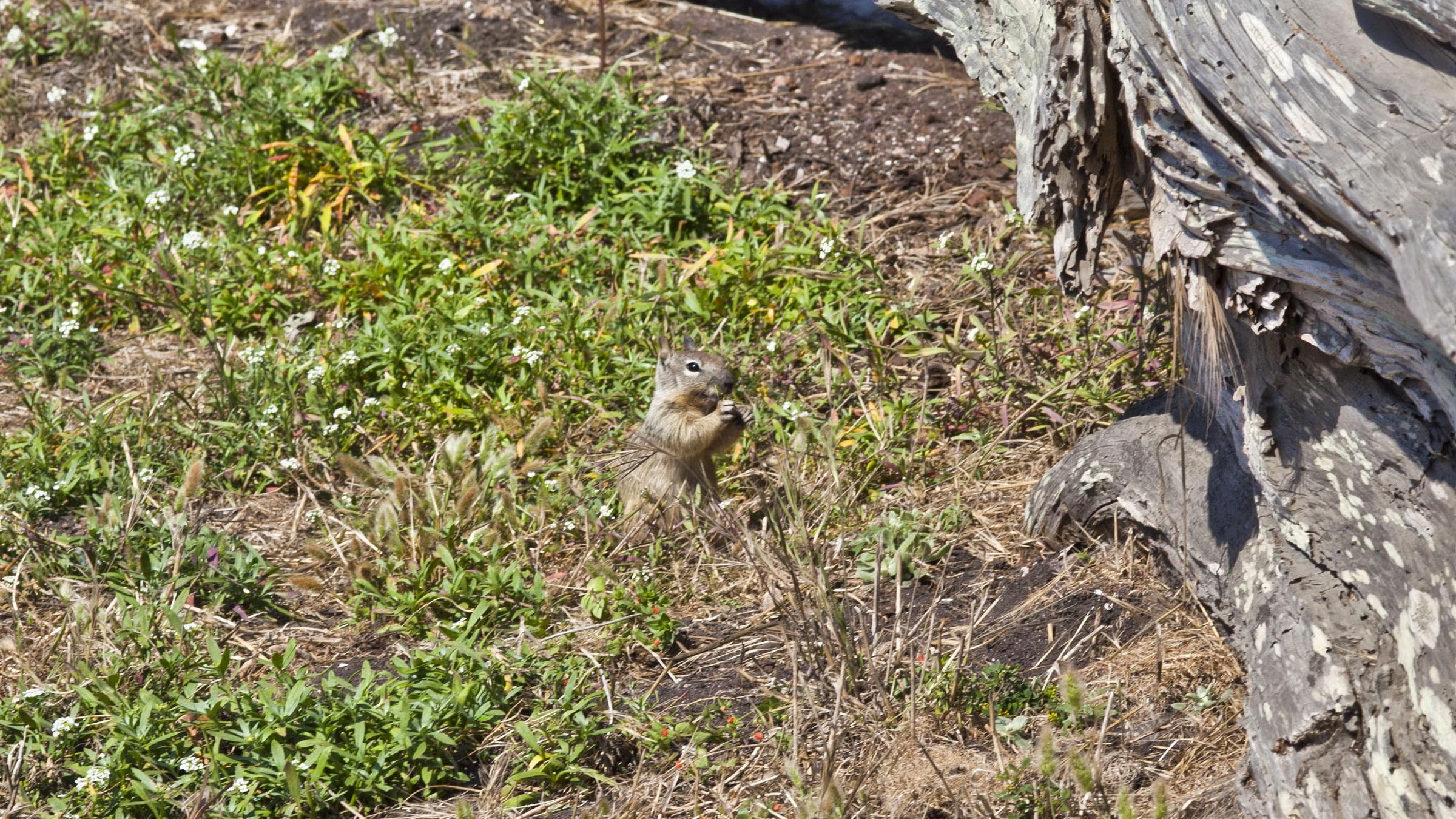 California ground squirrel Otospermophilus beecheyi 17 Mile Drive Monterey CA July 2011 05