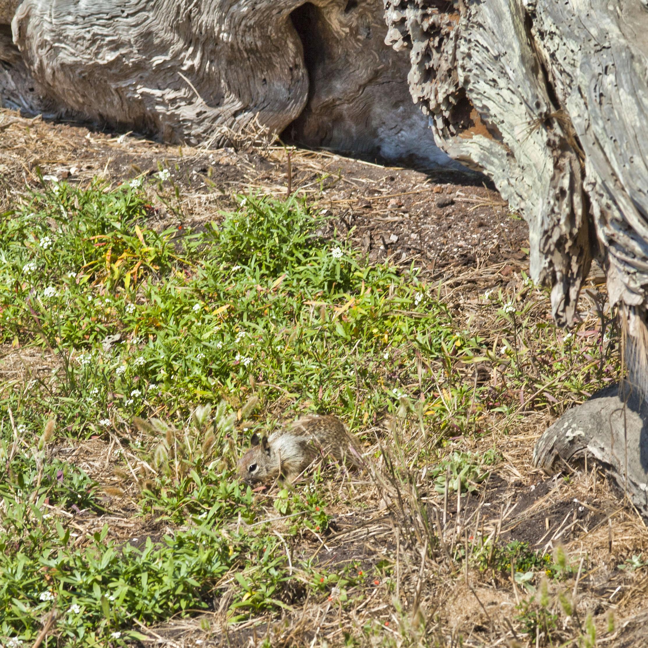California ground squirrel Otospermophilus beecheyi 17 Mile Drive Monterey CA July 2011 07