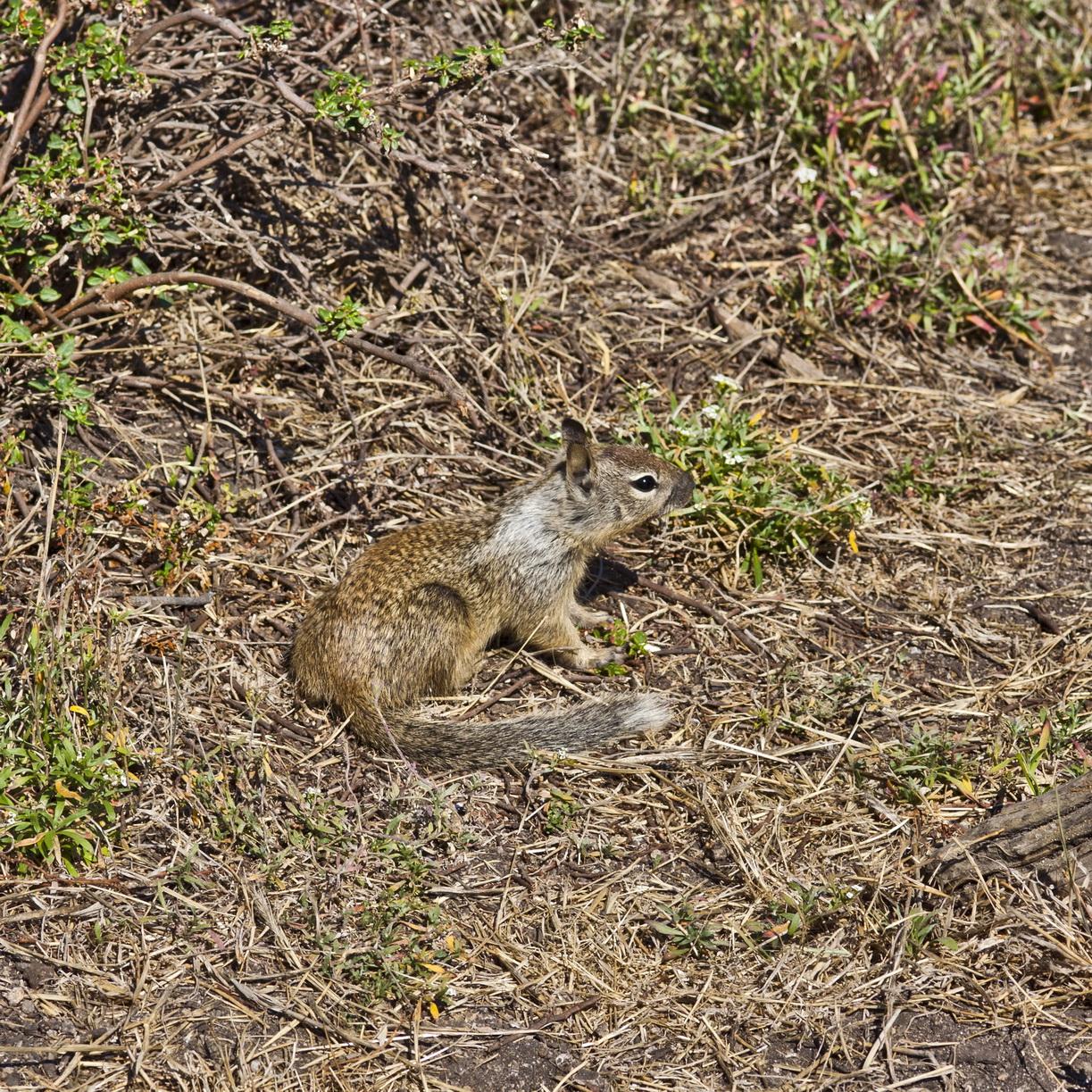 California ground squirrel Otospermophilus beecheyi 17 Mile Drive Monterey CA July 2011 12