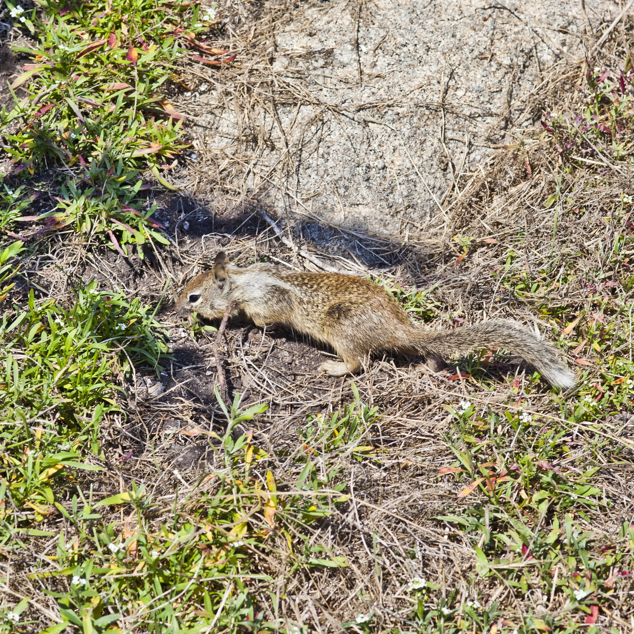 California ground squirrel Otospermophilus beecheyi 17 Mile Drive Monterey CA July 2011 14