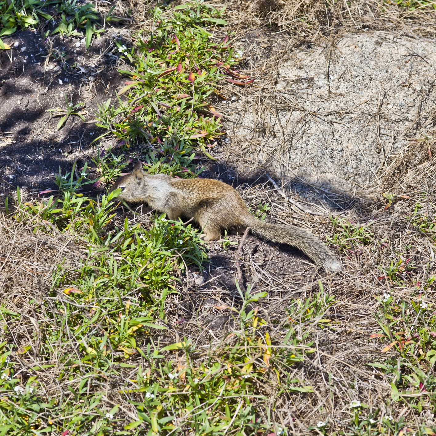 California ground squirrel Otospermophilus beecheyi 17 Mile Drive Monterey CA July 2011 16