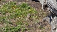 Asisbiz California ground squirrel Otospermophilus beecheyi 17 Mile Drive Monterey CA July 2011 02
