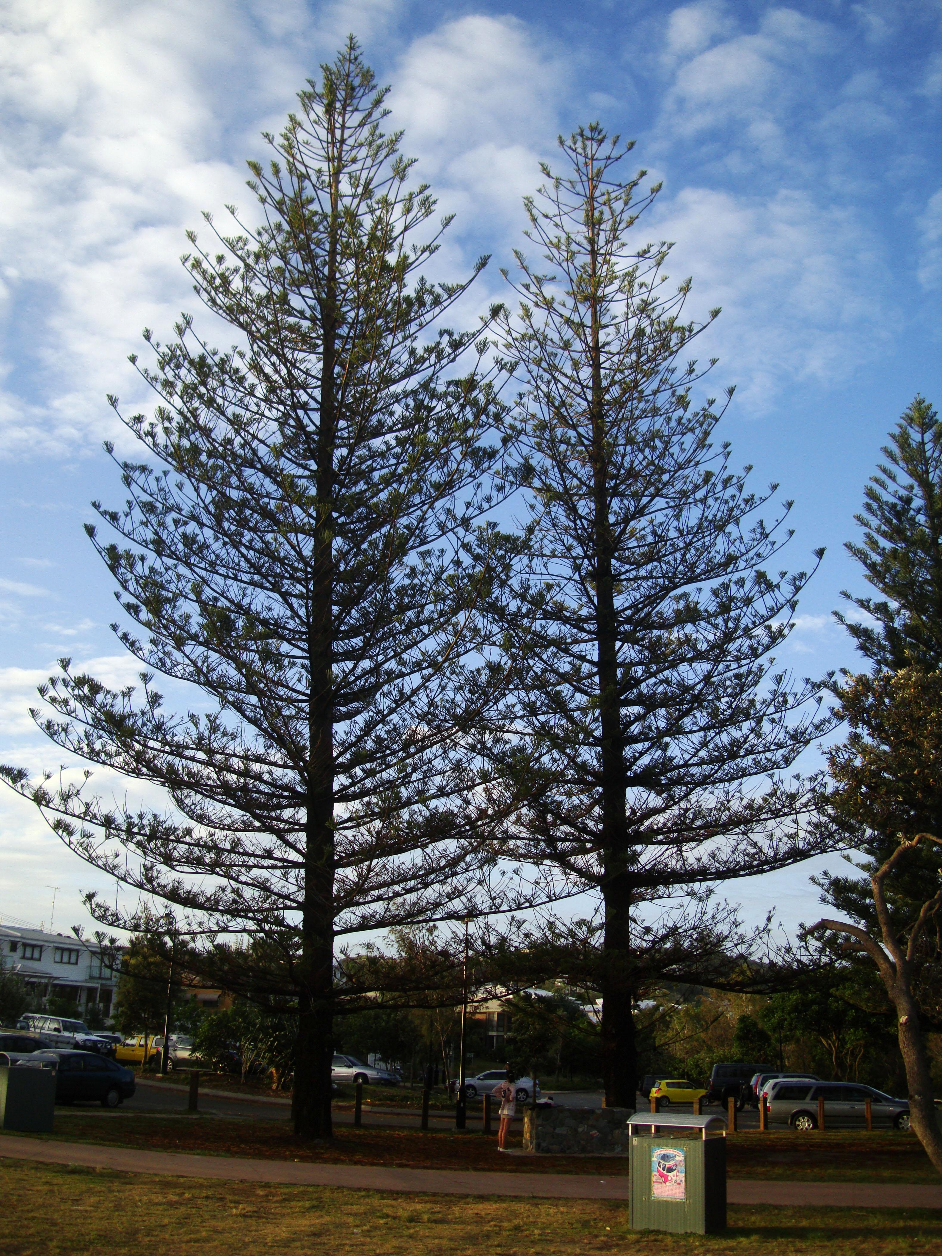 Australia Queensland Perigian Beach Pines 03