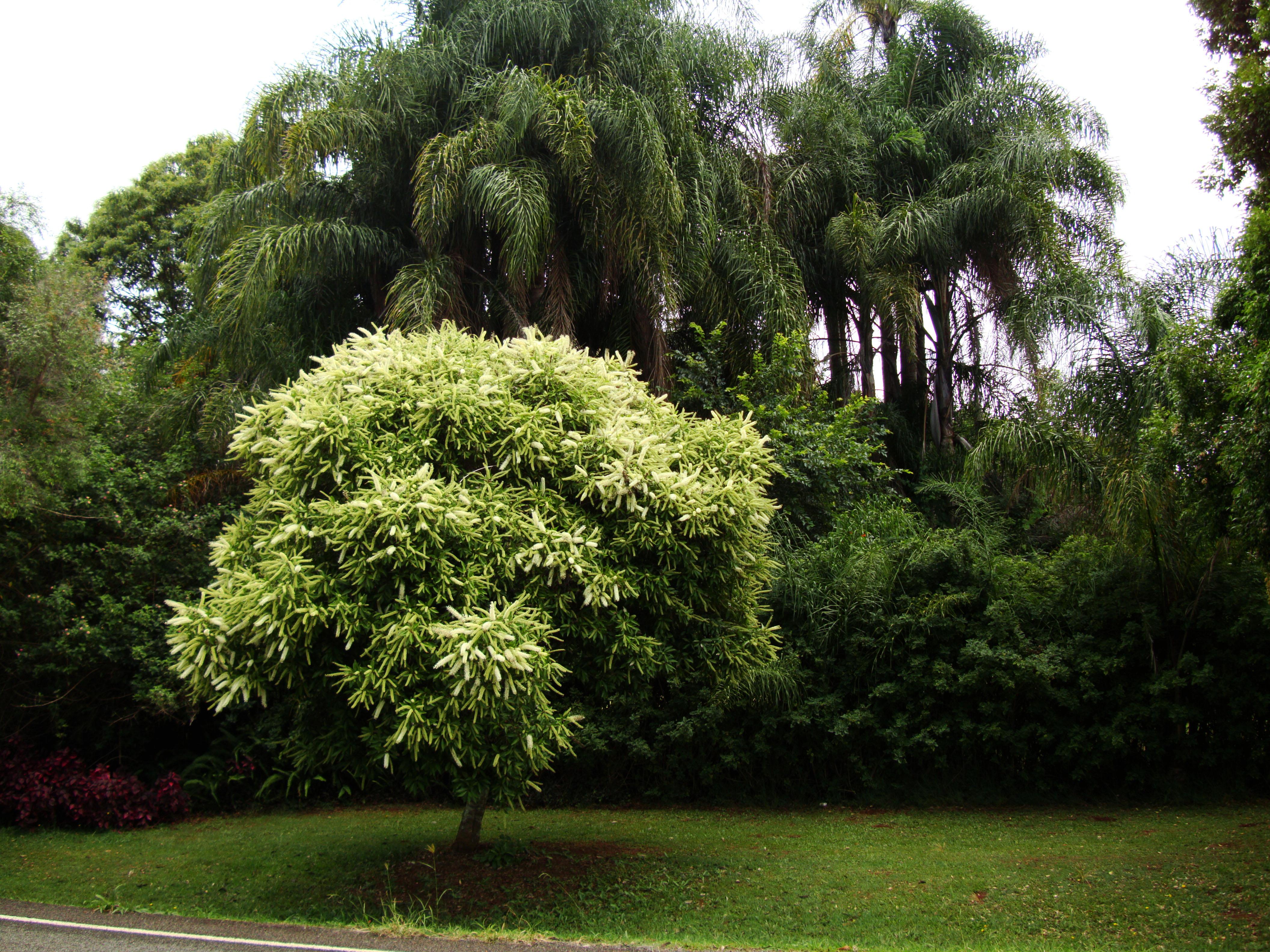 Australian Flowering Tree Flaxton Area 02