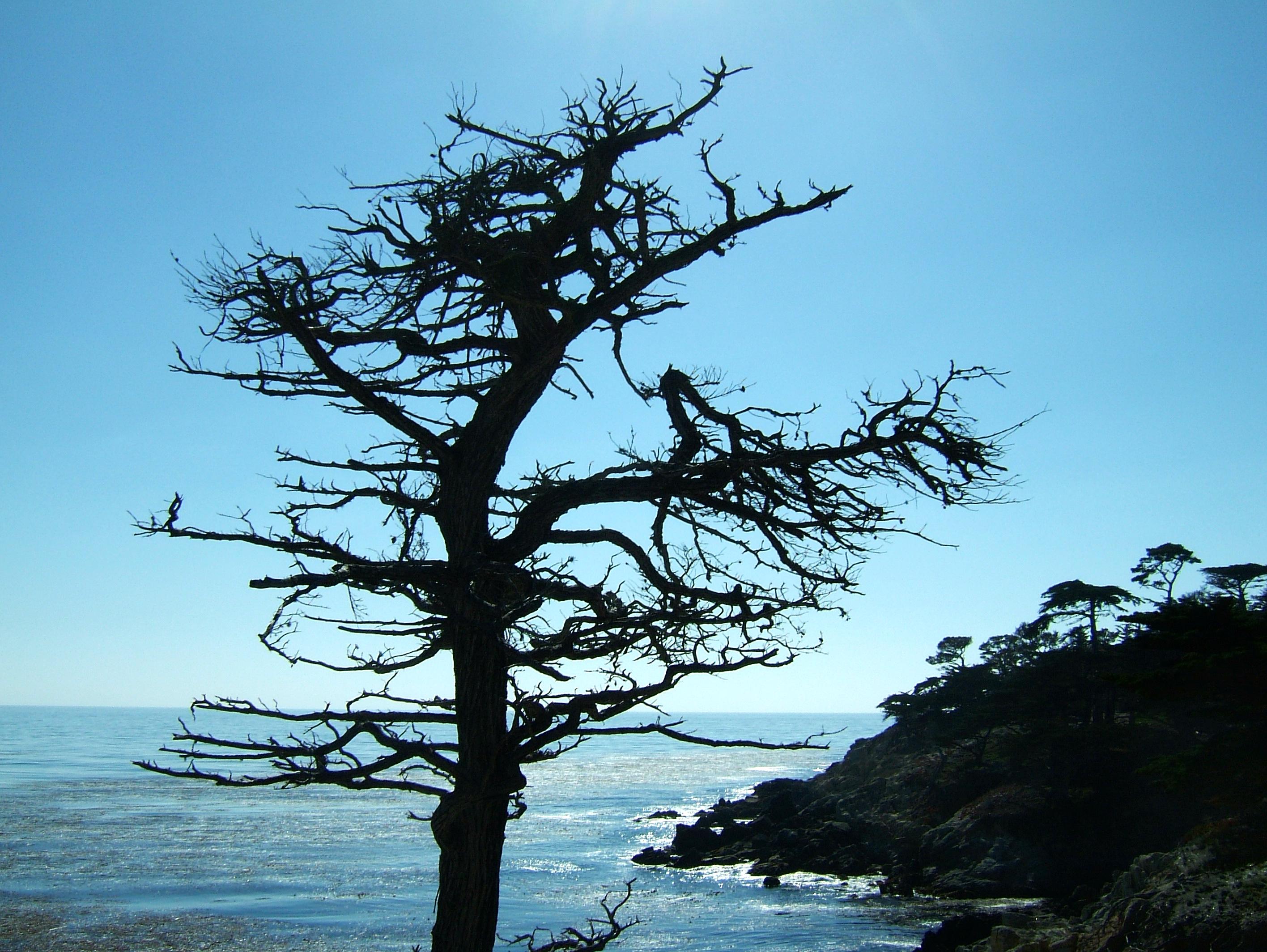 Tree USA California Monterey Pebble Beach 08
