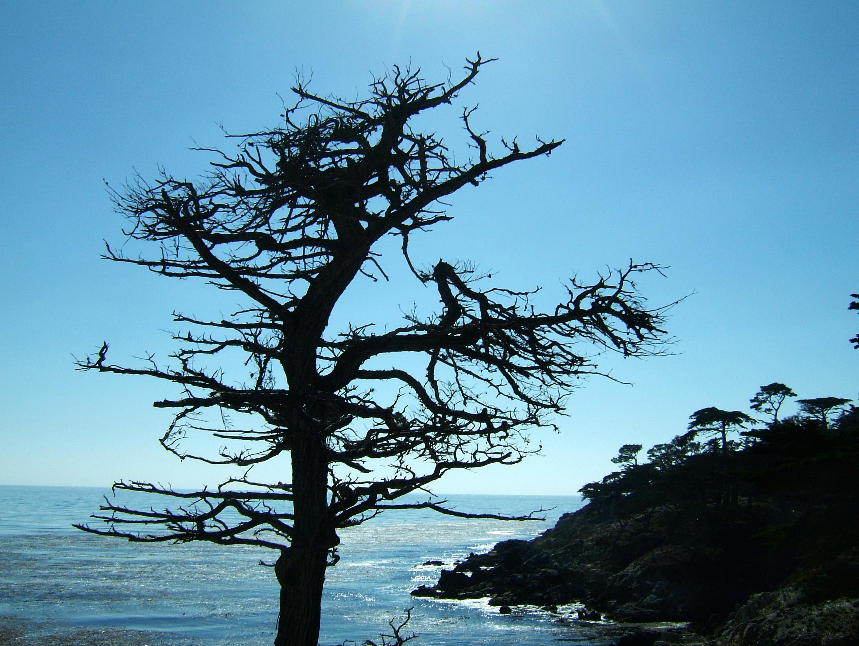 Tree USA California Monterey Pebble Beach 09
