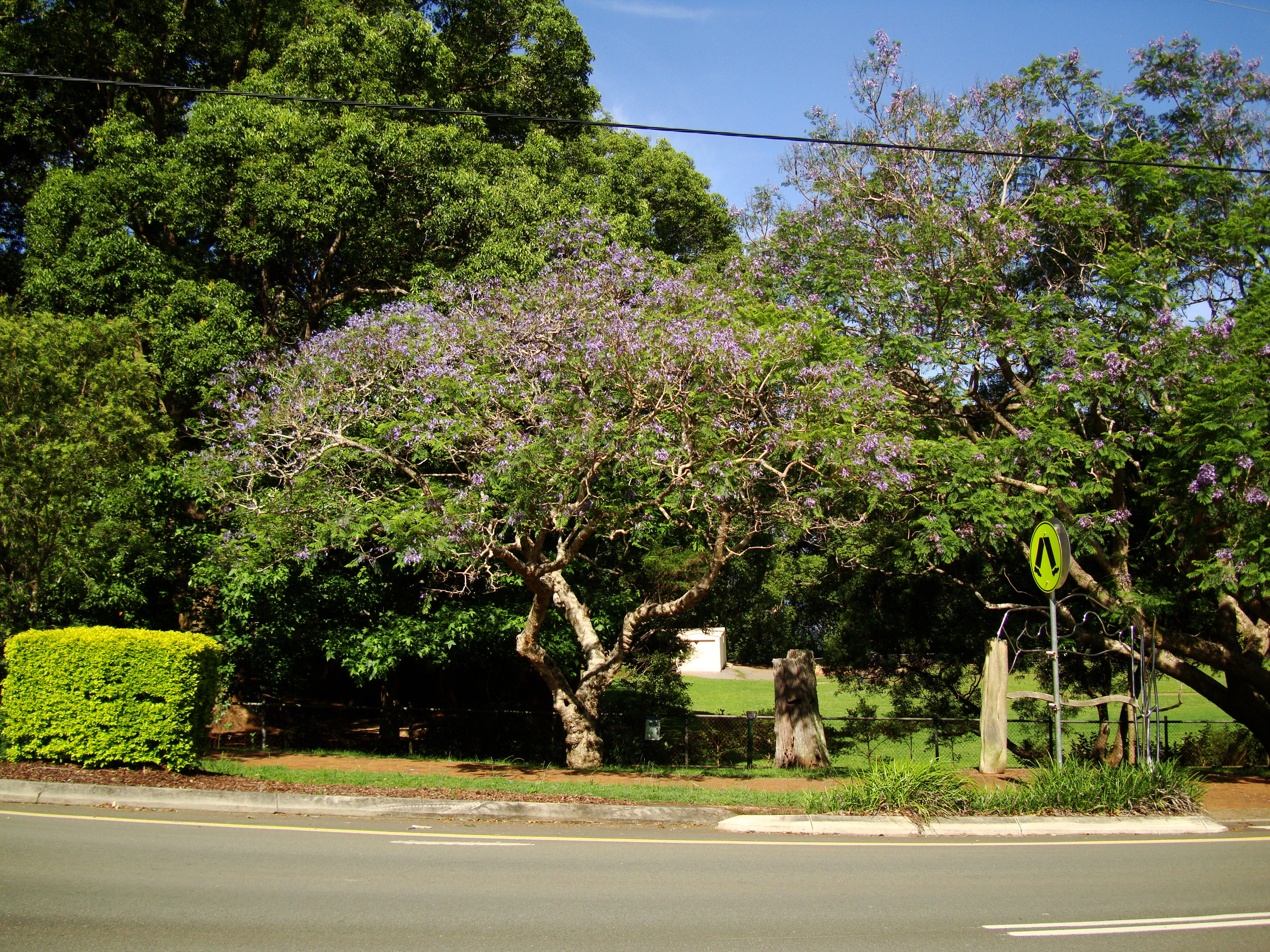 Trees Flowering Jacaranda Malaney 04