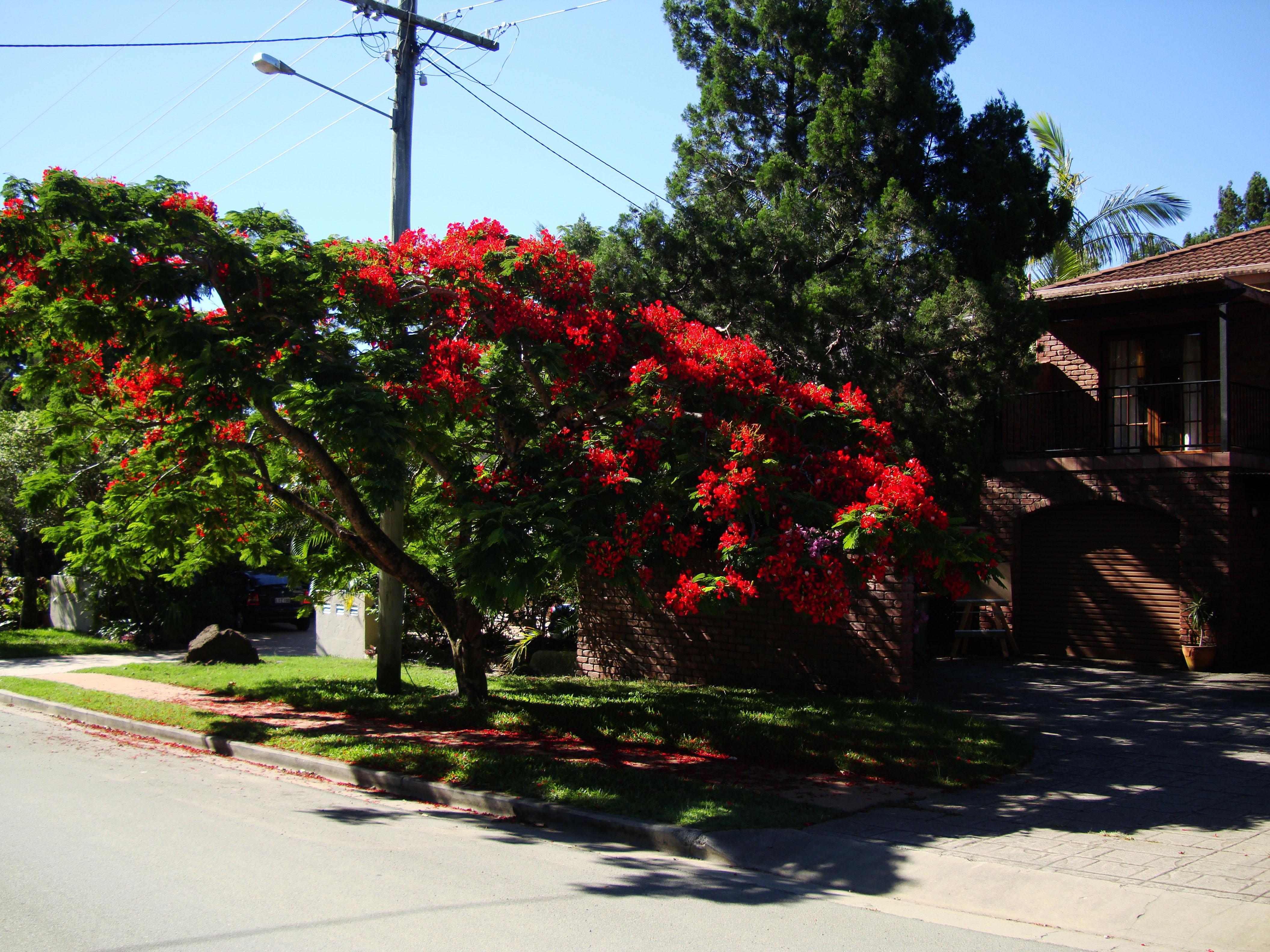 Trees Flowering Jacaranda Noosa 02