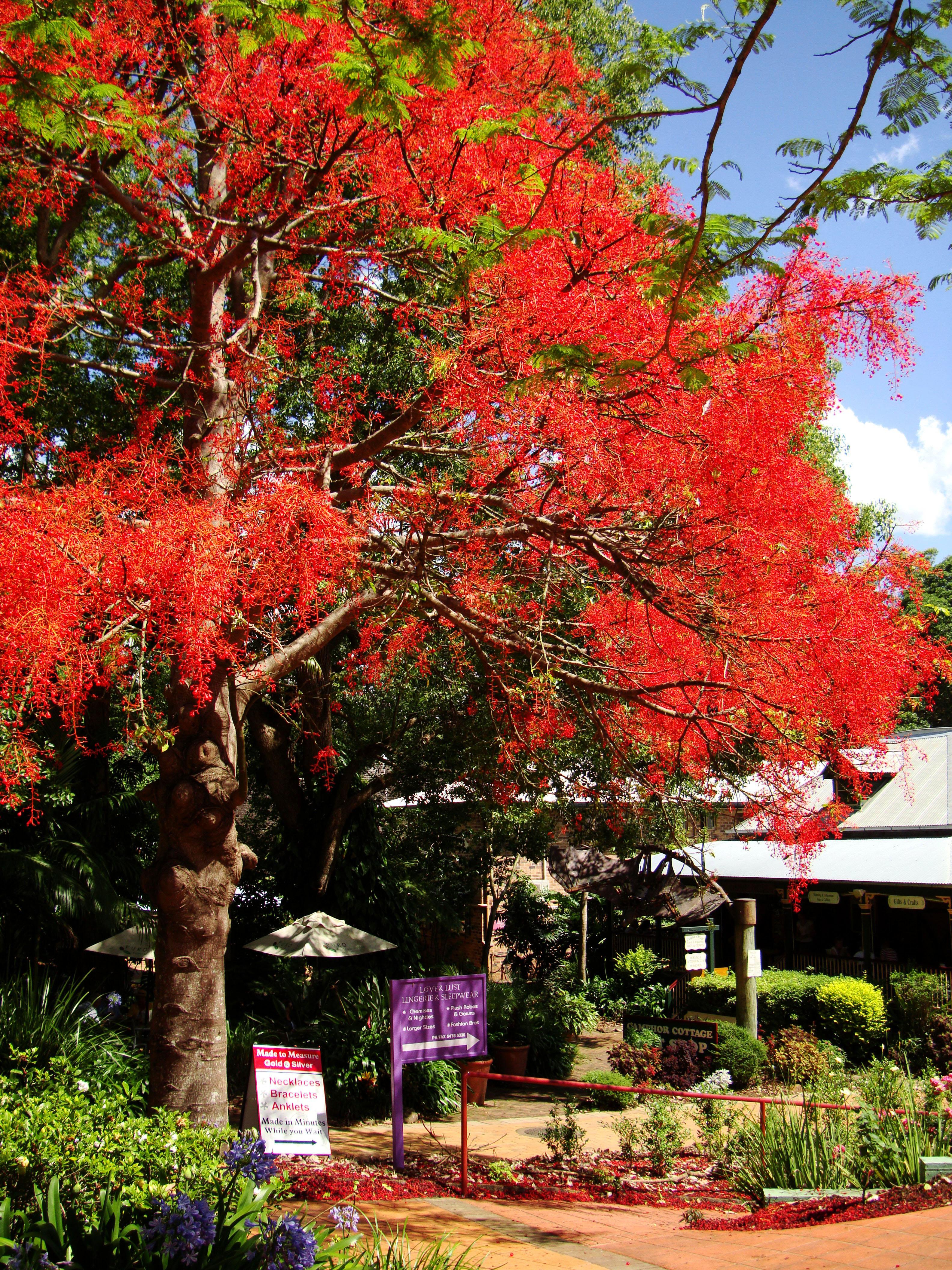 Trees Flowering Jacaranda Poinciana Malaney 01