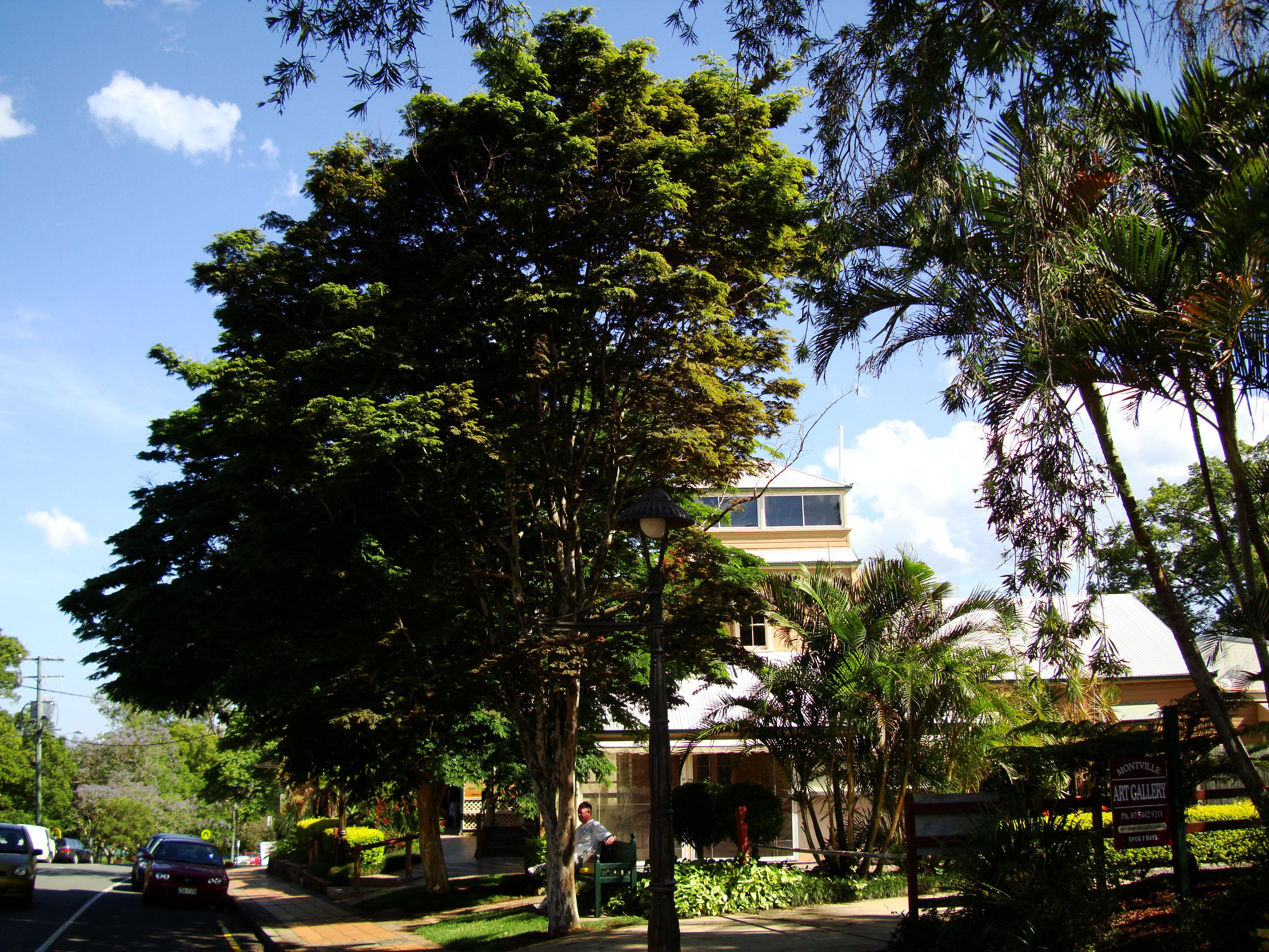 Trees Leopard Tree Caesalpinea Ferrea Malaney 03