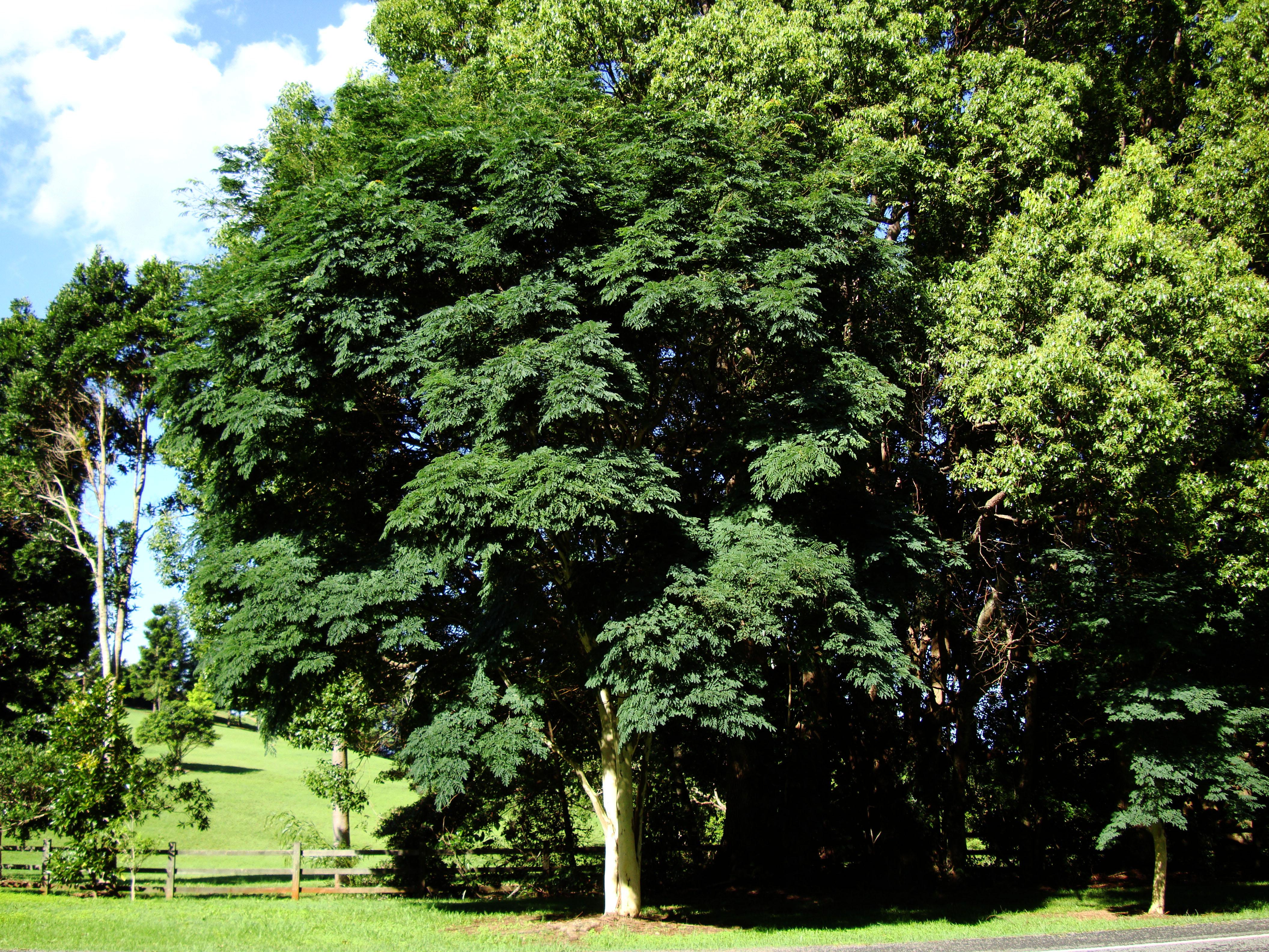 Trees Leopard Tree Caesalpinea Ferrea Malaney 04