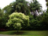 Asisbiz Australian Flowering Tree Flaxton Area 02