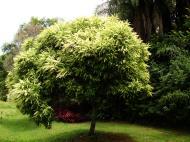Asisbiz Australian Flowering Tree Flaxton Area 03