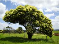 Asisbiz Australian Flowering Tree Flaxton Area 04