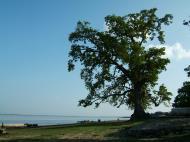Asisbiz Giant Tree Myanmar Mingun 01