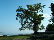 Asisbiz Giant Tree Myanmar Mingun 02
