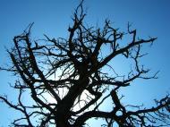 Asisbiz Tree USA California Monterey Pebble Beach 03