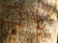Asisbiz Tree graffiti ghost gum Noosa national park 01