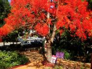 Asisbiz Trees Flowering Jacaranda Malaney 02