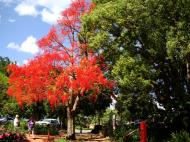 Asisbiz Trees Flowering Jacaranda Malaney 03