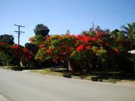 Asisbiz Trees Flowering Jacaranda Noosa 01