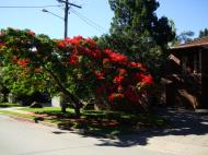 Asisbiz Trees Flowering Jacaranda Noosa 02