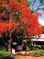 Asisbiz Trees Flowering Jacaranda Poinciana Malaney 01
