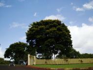 Asisbiz Trees Leopard Tree Caesalpinea Ferrea Flaxton 01