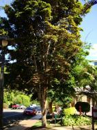Asisbiz Trees Leopard Tree Caesalpinea Ferrea Malaney 02