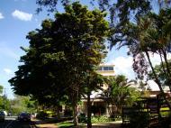 Asisbiz Trees Leopard Tree Caesalpinea Ferrea Malaney 03